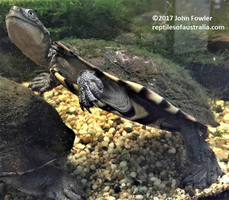 Eastern Long-necked Turtle Chelodina longicollis