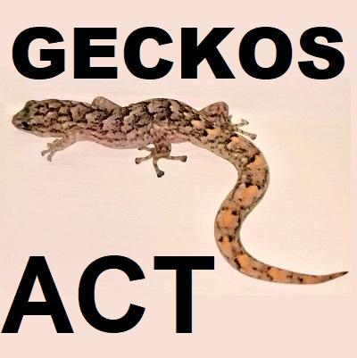 GECKO LIZARDS Gekkonidae