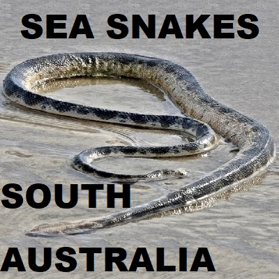 SOUTH AUSTRALIAN SEA SNAKES - Hydrophiinae Laticaudidae Sea Kraits
