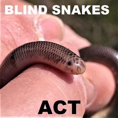 BLIND SNAKES - Worm Snakes - Typhlopidae Ramphotyphlops