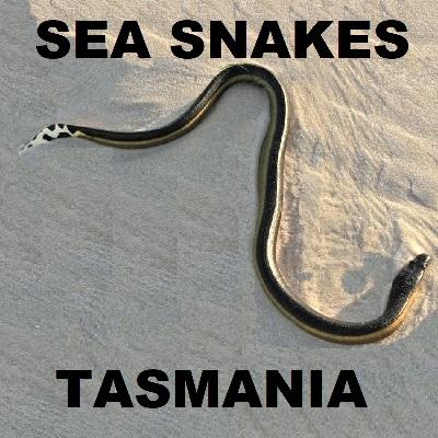 SEA SNAKES OF TASMANIA - Hydrophiinae Laticaudidae Sea Kraits
