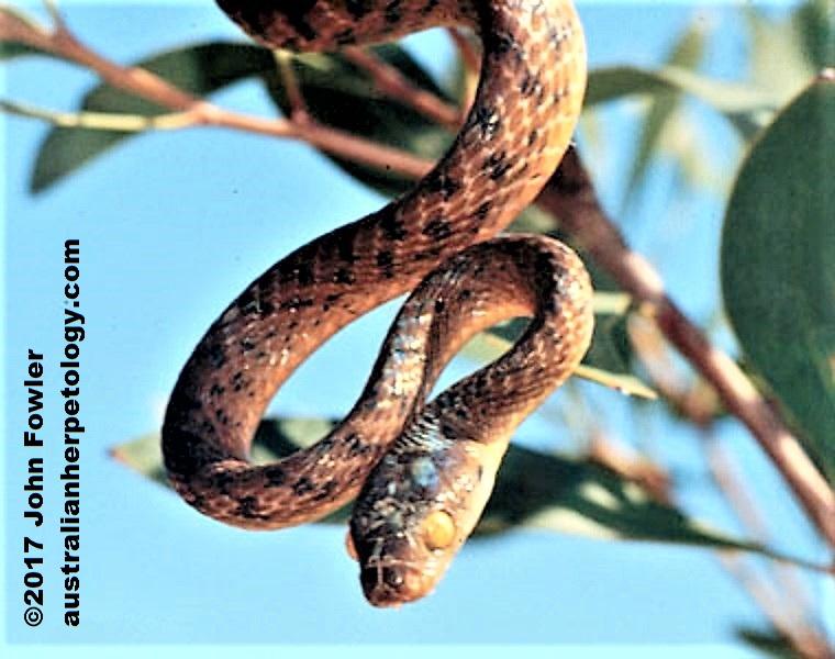boiga irregularis adj brown tree snake (night tiger) boiga irregularis